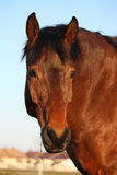 Brown horse portrait in rural area Royalty Free Stock Image