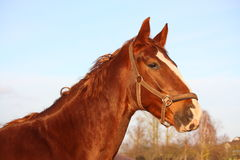 Brown horse portrait in rural area Stock Photo