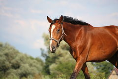 Brown horse portrait in summer Stock Photography