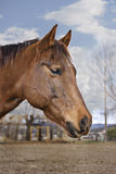 Brown Horse Profile. Vertical profile image of a pretty brown horse with a diffused countryside background Stock Photography