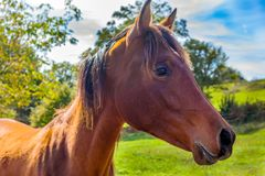 Brown horse profile against green field and blue sky. Asturias Stock Images