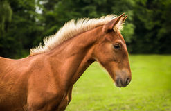 Brown Horse in Profile Stock Photography