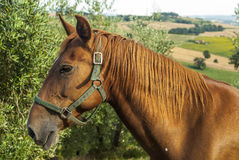 Horse in Tuscany Stock Photography
