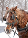Brown horse. Ready for sleigh ride close-up royalty free stock photos