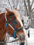 Brown horse ready for sleigh ride Stock Photos