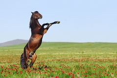 Brown horse rearing on pasture Stock Photos