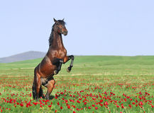 Brown horse rearing on pasture Stock Images