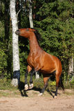 Brown horse rearing up in the forest Royalty Free Stock Photo