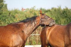Brown horse resting on another horse Royalty Free Stock Photos