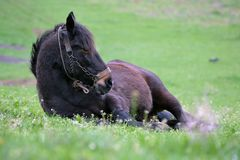Brown horse resting royalty free stock image