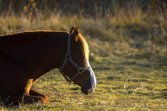 Brown Horse Resting in Pasture Royalty Free Stock Photography