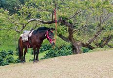 Brown horse with rider equipment . Royalty Free Stock Image