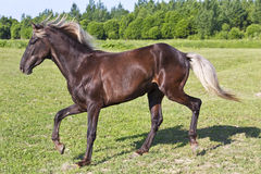 Brown horse riding across the field Stock Image