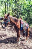 Mexican Horse in forest. Brown Horse with a Riding Saddle Standing in a Green Forest in Mexico Stock Photos