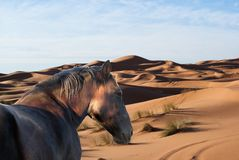 Brown Horse Roaming Around In a Desert stock photography