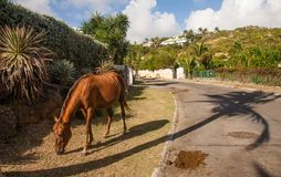 Horse roaming free in St Martin Royalty Free Stock Image