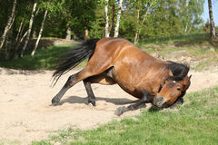 Brown horse rolling in the sand in hot summer stock photo