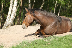 Brown horse rolling in the sand in hot summer Royalty Free Stock Photos