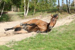 Brown horse rolling in the sand in hot summer Royalty Free Stock Images