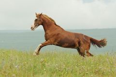 Brown horse run gallop on green meadow in summer day. Outdoors, horizontal Stock Images