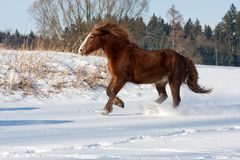 Brown horse run gallop in winter Stock Image