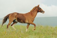 Brown horse run trotted on green meadow in summer day. Outdoors, horizontal Stock Image