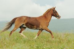 Brown horse run trotted on green meadow in summer day. Outdoors, horizontal Stock Images