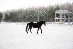 The brown horse is running at background of monochrome winter landscape Royalty Free Stock Photos