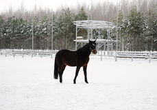 The brown horse is running at background of monochrome winter landscape Royalty Free Stock Images