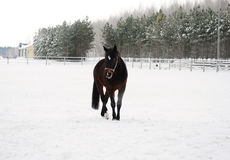 The brown horse is running at background of monochrome winter landscape Stock Images