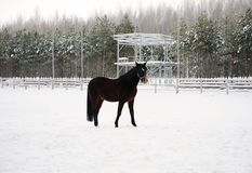 The brown horse is running at background of monochrome winter landscape Royalty Free Stock Photography