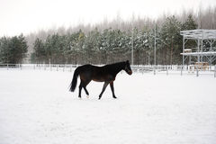The brown horse is running at background of monochrome winter landscape Stock Photos