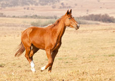 Brown horse running on dry grass Stock Image