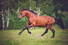 Brown horse running Royalty Free Stock Image