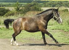 Brown horse running on the field on the ground Royalty Free Stock Photography