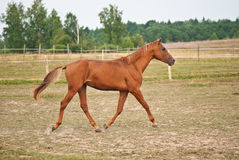 Brown horse running on the field Royalty Free Stock Photography