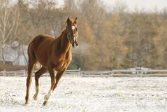 Brown horse running in a field in winter Royalty Free Stock Images