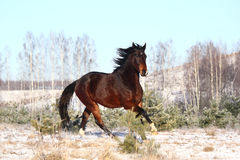 Brown horse running free in winter. Brown horse galloping free in winter Royalty Free Stock Photography