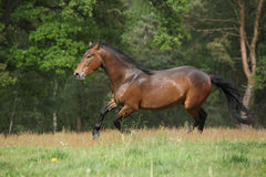 Brown horse running in front of the forest