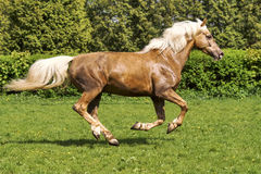 Brown horse running. On the grass royalty free stock images