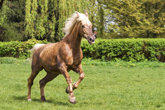 Brown horse running. On the green bushes background Stock Image
