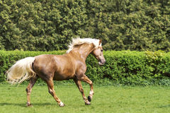 Brown horse running. On the green bushes background Stock Photography