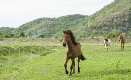 Brown horse running on green field. Background with blue mountain and dark cloud royalty free stock photo