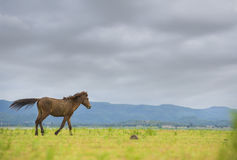 Brown horse running on green field. Background with blue mountain and dark cloud stock image