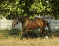 Brown horse running on light dry grass Stock Photos