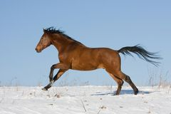 Brown horse running through snowy meadow Royalty Free Stock Images