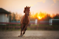 Brown horse running at sunset. Beautiful brown horse running in the paddock at sunset Royalty Free Stock Image