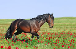 Brown horse running trot on pasture Royalty Free Stock Image