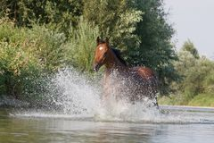 Brown horse running in the water Royalty Free Stock Images