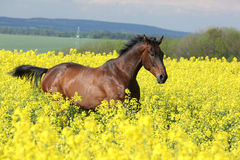 Brown horse running in yellow colza field Stock Photo